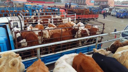 肉牛牲畜市场