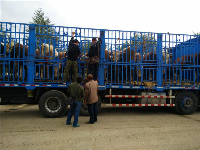 肉牛运输应急措施