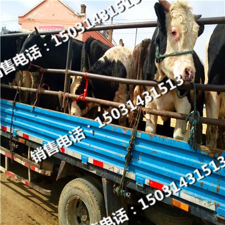 肉牛犊种苗