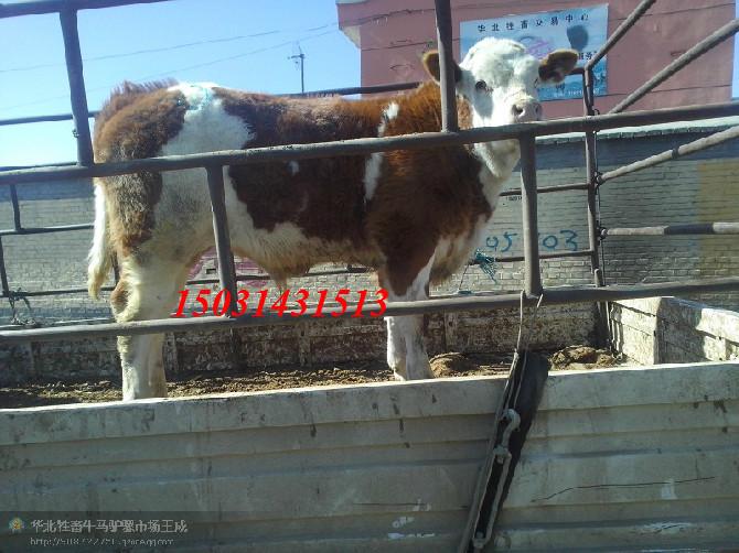 好品种的肉牛犊