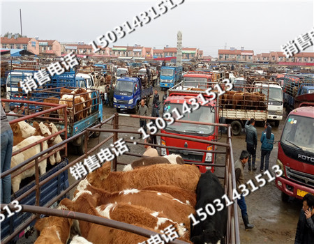 肉牛市场河北